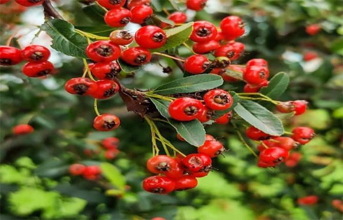 ghingaru fruit of uttarakhand