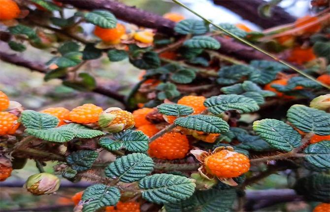 hisalu fruit of uttarakhand