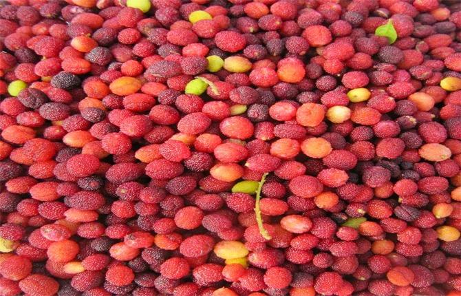 kafal fruit of uttarakhand