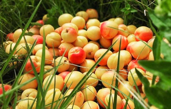 khubani fruit of uttarakhand