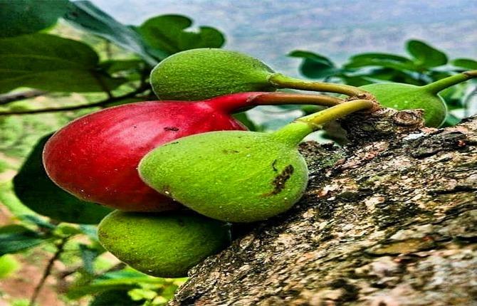 timla fruit of uttarakhand